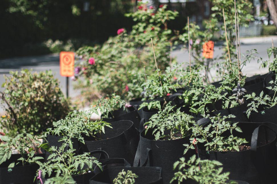 Cette année, pour «donner un break au sol», Réal Migneault fait pousser ses 12 variétés de tomates dans des pots en géotextile, plutôt qu'en pleine terre.