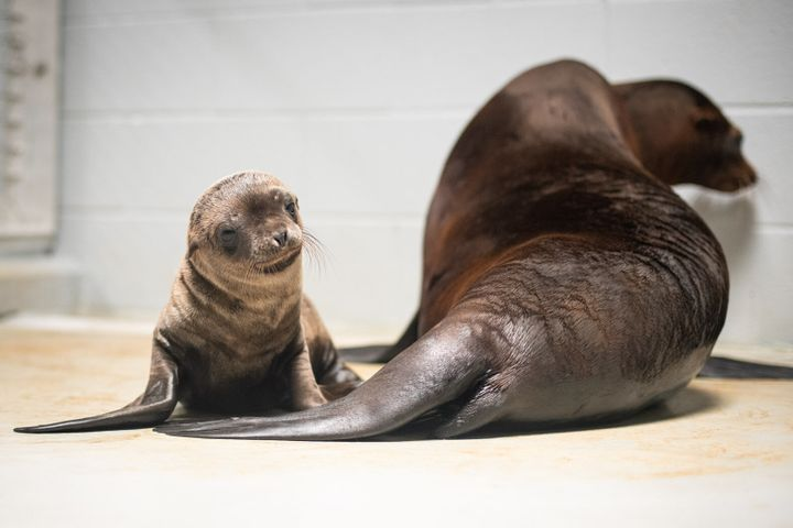 California sea lion mom Lovell and her pup.