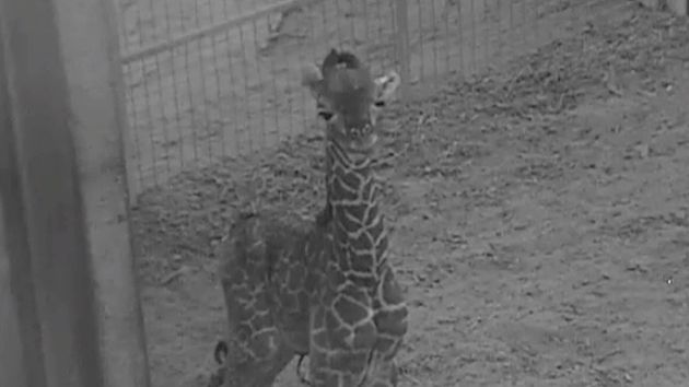 The Masai giraffe calf at Columbus Zoo isn't ready for visitors just yet, but keepers say the little...
