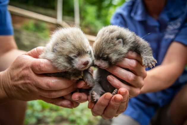 Red panda cubs, a male and a female, were born at Columbus Zoo on June