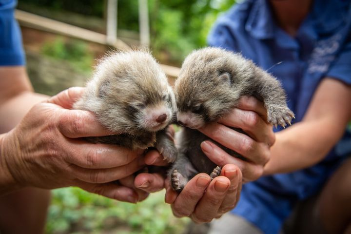 Red panda cubs, a male and a female, were born at Columbus Zoo on June 13.