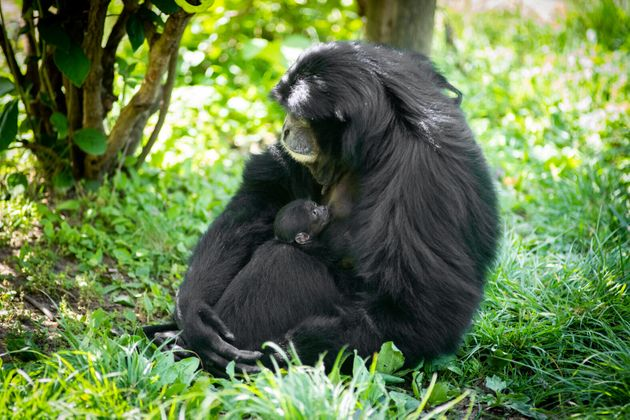 Olga is one of the oldest known siamang mothers at age