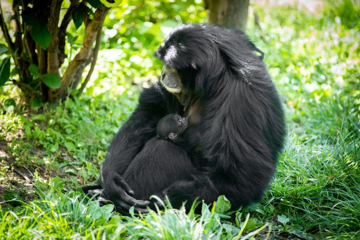 Olga is one of the oldest known siamang mothers at age 31.