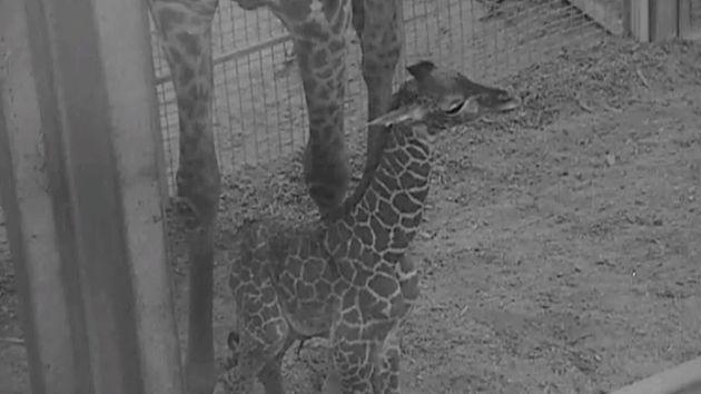 Giraffe calf with mom
