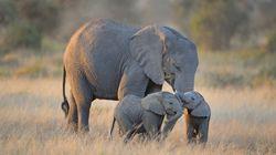 Des centaines d'éléphants meurent mystérieusement au