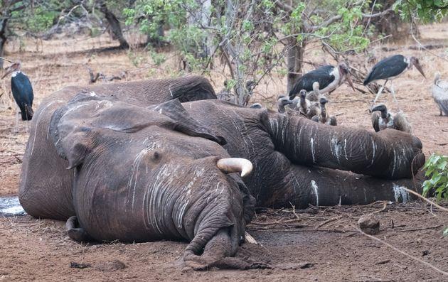 In Botswana sono morti oltre 350 elefanti e nessuno sa perché: si teme malattia