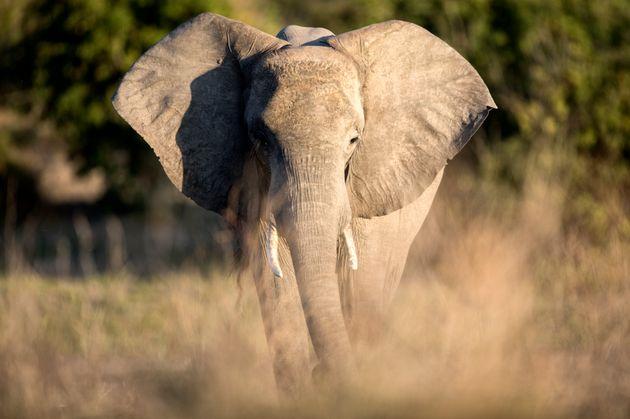 Le mystère plane sur la mort d'au moins 275 éléphants au