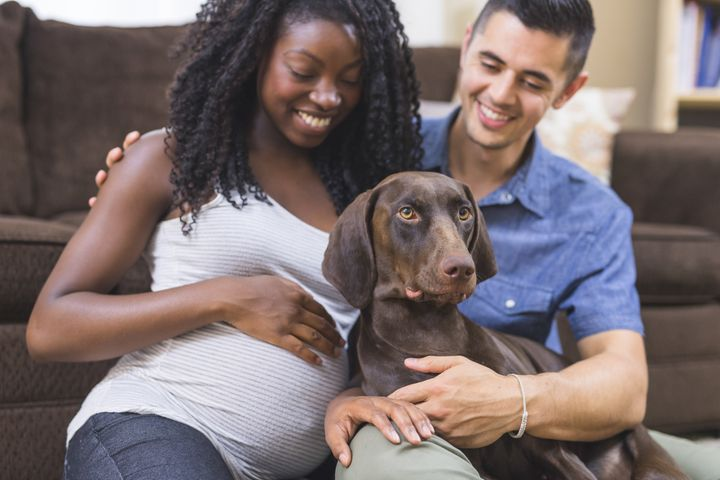 Some dogs become extra protective or needy when their human is pregnant. Others don't change their behavior at all.