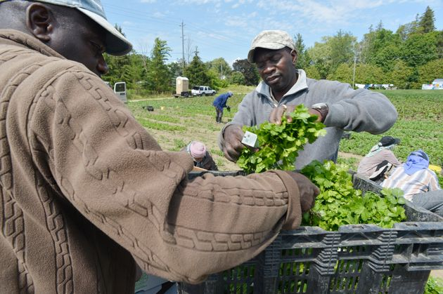 Conroy Sterling, left, and Desmond Daley, both from Jamaica, pack freshly cut cilantro in 2018. Pfenning's...