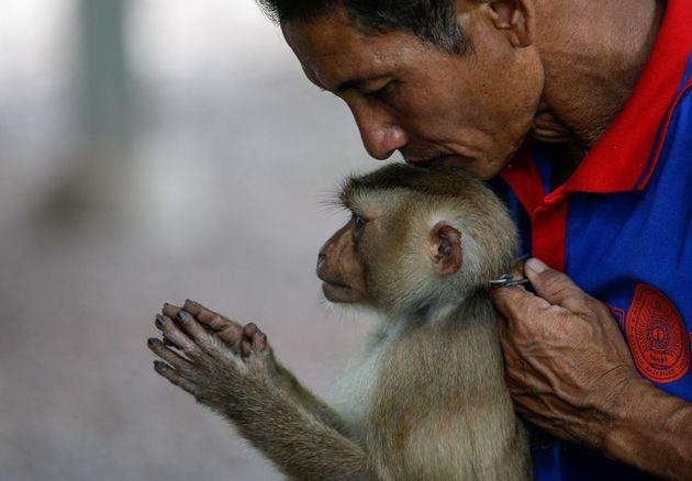 Ταϊλάνδη: Αιχμαλωτίζουν μαϊμούδες και τις αναγκάζουν να «δουλεύουν»