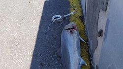 Ηράκλειο: Έπιασε ψάρι 32 κιλών με