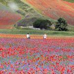 Meraviglia a Castelluccio di Norcia: ecco la fioritura