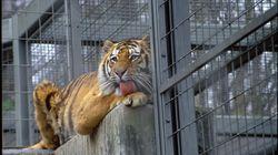 Tigre uccide una dipendente dello zoo di
