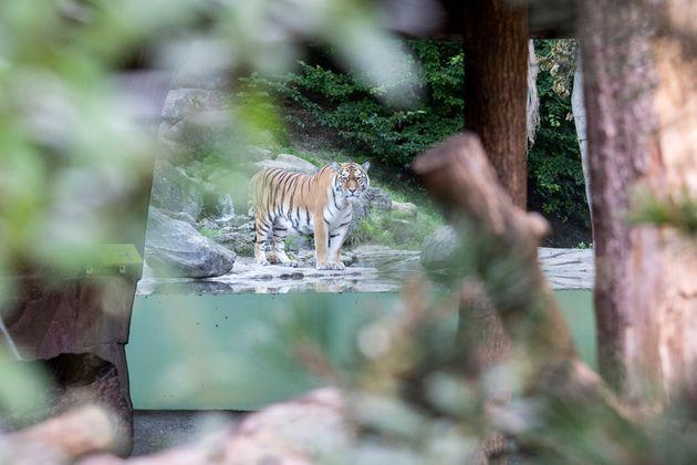 Ελβετία: Τίγρης κατασπάραξε υπάλληλο ζωολογικού