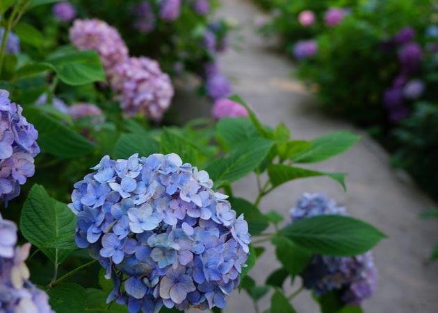 6月には、国内最多1,250品種が咲き誇る「あじさい祭」が開催された。