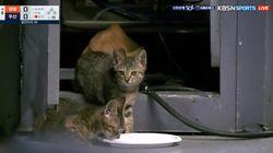 야구 중계에 등장한 새끼 고양이들의 귀여움