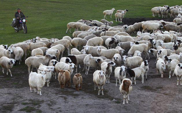 A man herds his sheep in Handagai in Xinbaerhu Zuoqi, Hulunbuir city, Inner Mongolia, on Sep. 20, 2016....