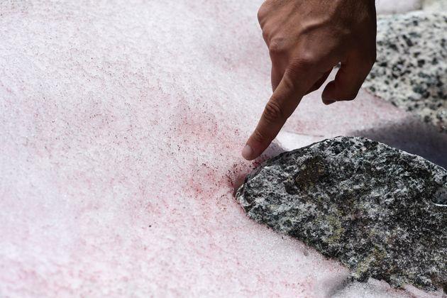 Un'alga colora di rosa la neve del ghiacciaio Presena e mette in allarme i