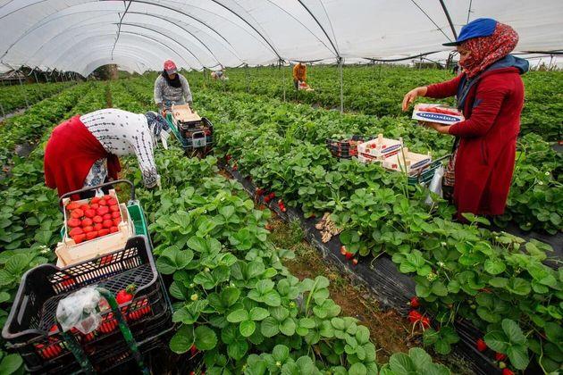 Jornaleras trabajando en la recogida de la fresa en
