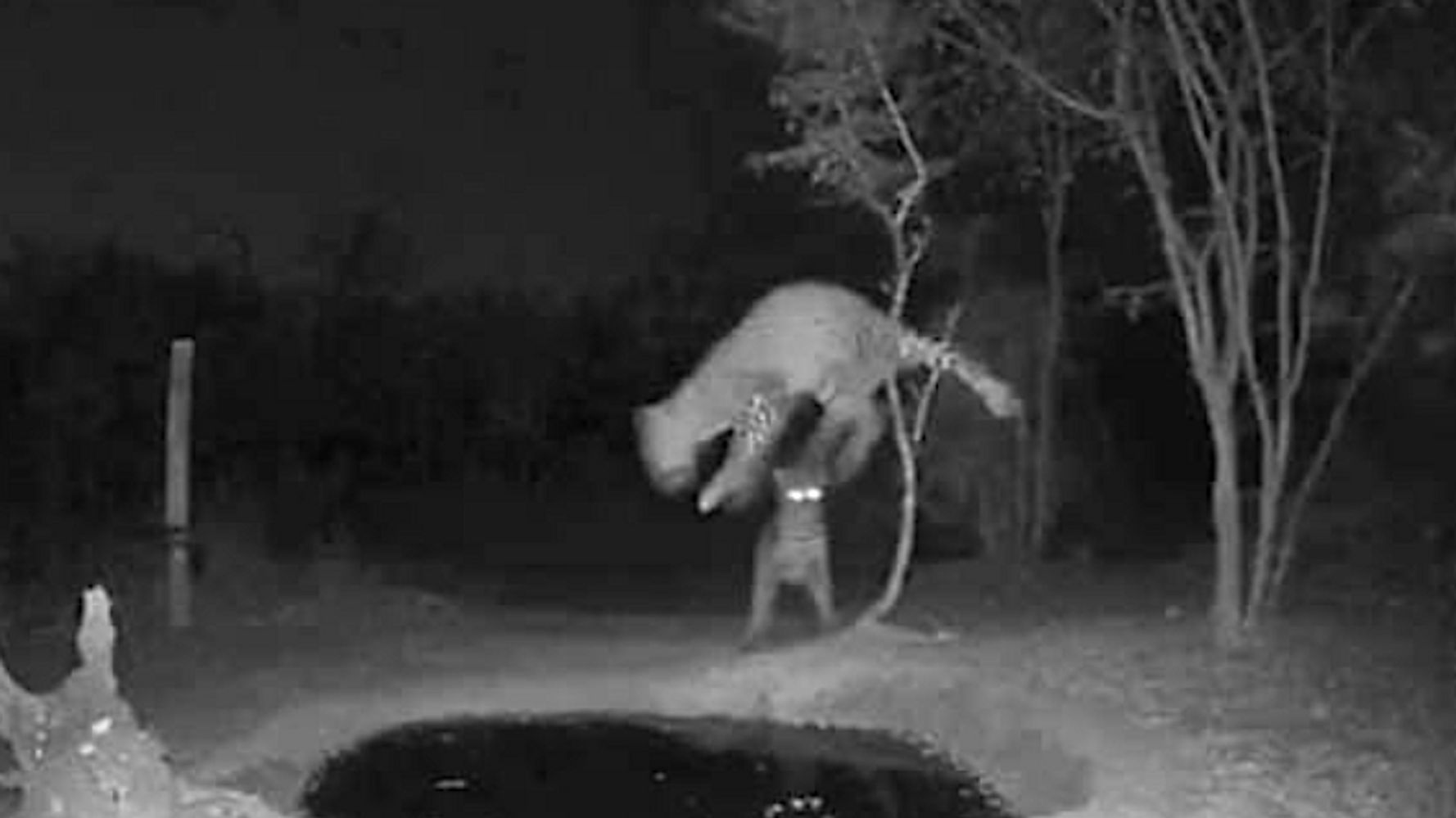 Leapin' Leopards! One Big Cat Startles Another At A Night Watering Hole