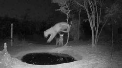 ヒョウだって、後ろから忍び寄られたらビックリしちゃうよ。暗闇で近づく仲間に、慌てふためく大ジャンプ