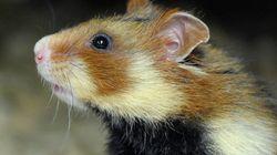 """Le grand hamster d'Alsace désormais """"en danger critique"""""""