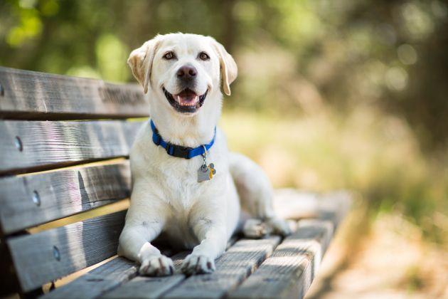 Les scientifiques ont étudié le processus chimique de méthylation chez 104 labradors...