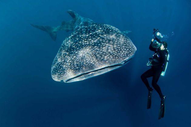 Το μεγαλύτερο μυστήριο της θάλασσας: Γιατί δεν έχει δει κανείς φαλαινοκαρχαρία να