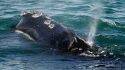 North Atlantic Right Whales 'One Step From Extinction,' Report