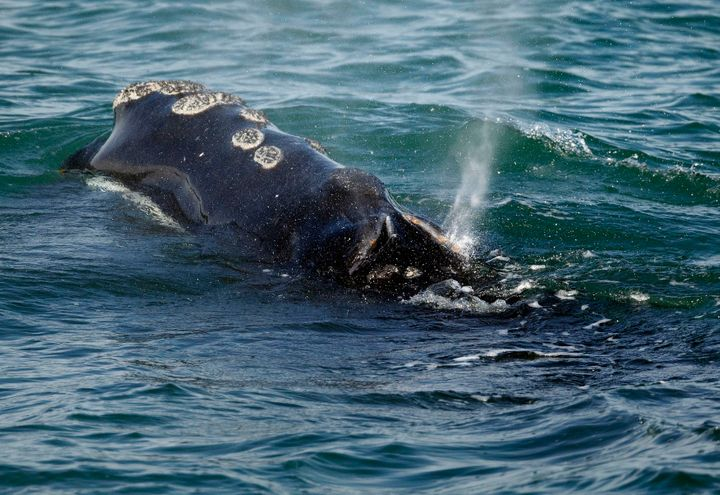 A North Atlantic right whale feeds on the surface of Cape Cod Bay off the coast of Massachusetts in 2018.
