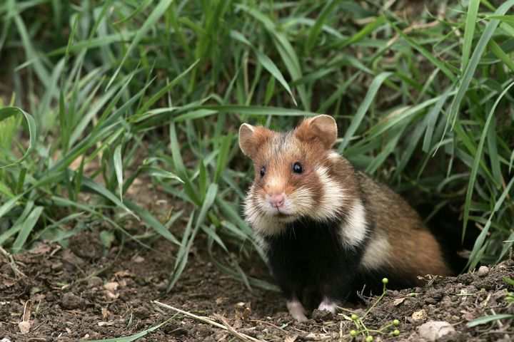 The European hamster, also known as the Eurasian hamster, black-bellied hamster or common hamster.