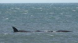 Μετά τους καρχαρίες, εμφανίστηκε και φάλαινα στον Κορινθιακό