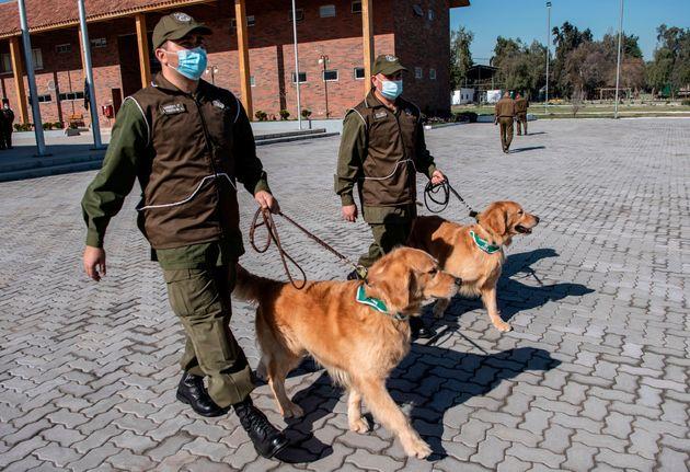Les chiens sélectionnés, trois golden retrievers et un labrador âgés de 4...