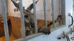 Rogue Kangaroo Taken Into Police Custody In The