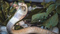 Graças ao ataque da Naja, Ibama resgata 32 serpentes e aplica mais de R$ 300 mil em multas no