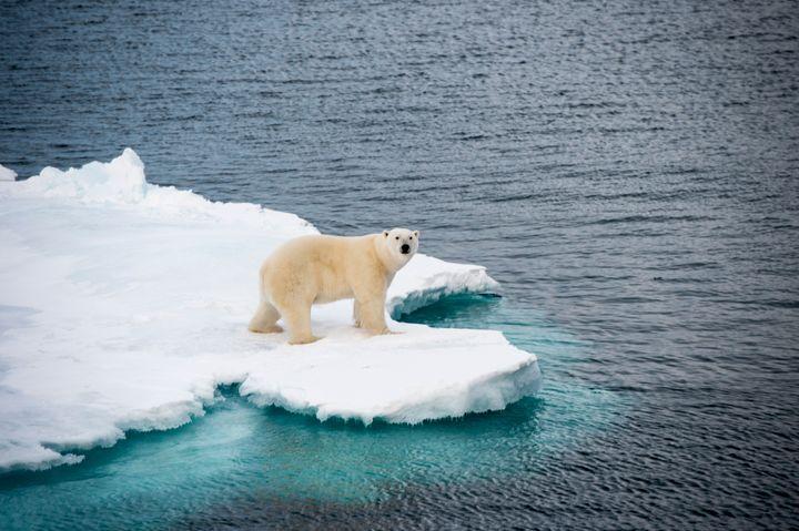 A polar bear walking on sea ice in the Arctic.