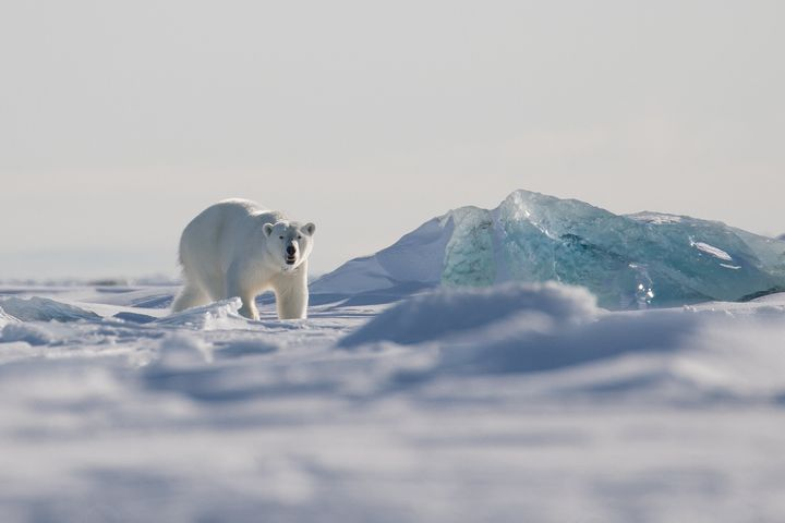 A female polar bear walks on the sea ice on the east coast of Svalbard.