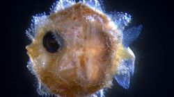 The Ocean Sunfish Might Be Massive, But It Has An Itty Bitty Larval