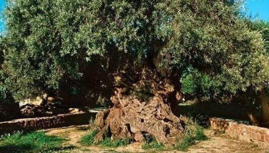 Η ιστορία της γηραιότερης και πιο επιβλητικής ελιάς στον Κίσσαμο