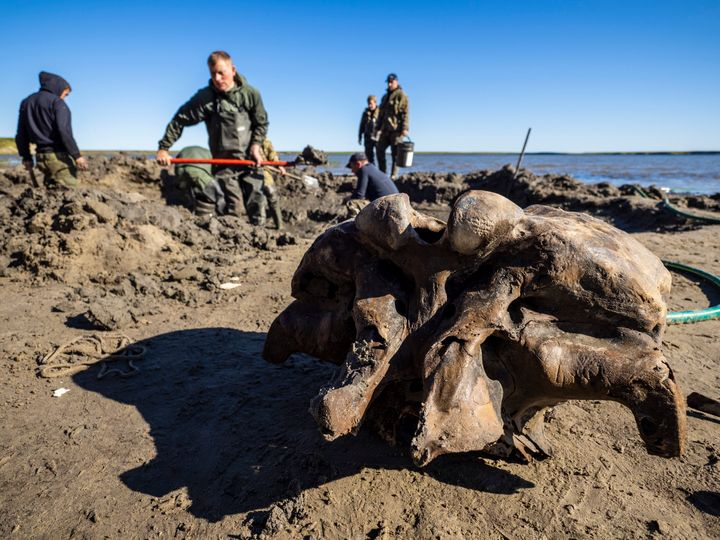 Local reindeer herders in Siberia found fragments of a mammoth skeleton a few days ago. Scientists hope to retrieve the entir