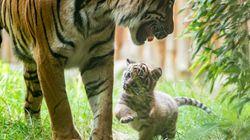 Un rarissime tigre de Sumatra est né en Pologne pendant le