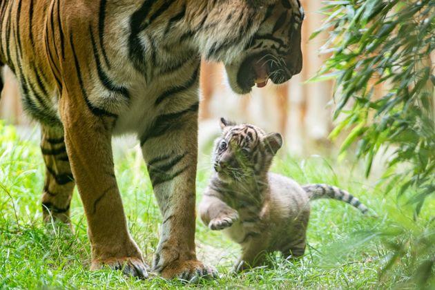 Ce jeune tigre de Sumatra est né au zoo de Wroclaw, en Pologne, durant la période de