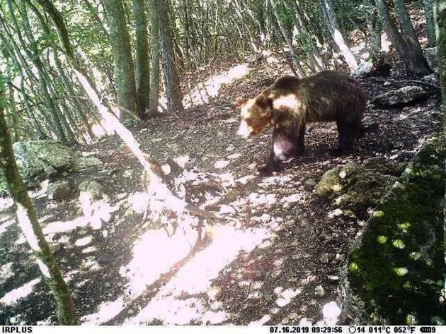 L'orso M49 immortalato da una foto trappola durante la sua fuga. L'orso era stato catturato e richiuso...