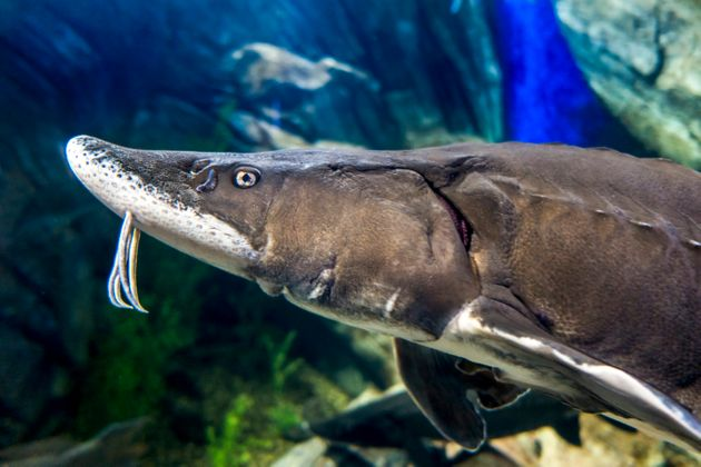 Le grand esturgeon est parmi les poissons dont la population a le plus
