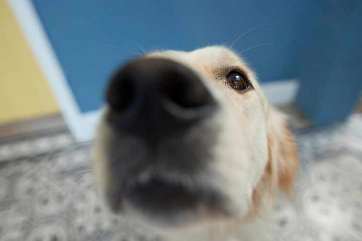 Researchers are hopeful they can train dogs to detect COVID-19.