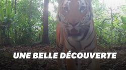 Les images de ces trois tigres en Thaïlande sont une très bonne