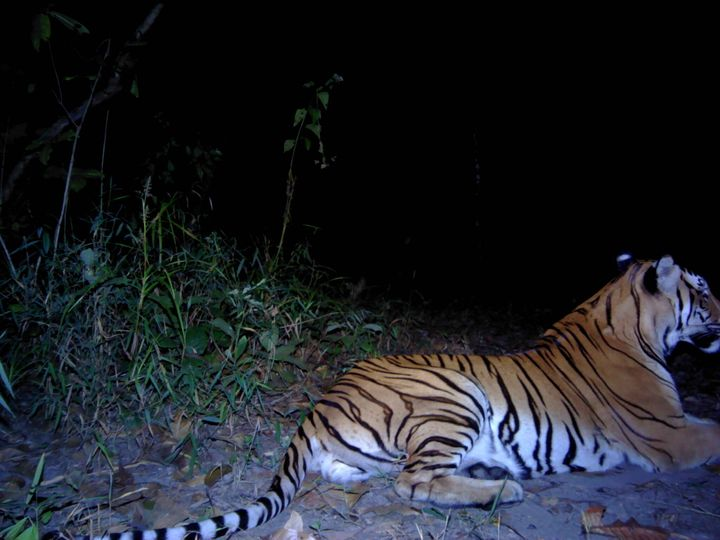 """The most important thing is that they establish territory here,"" Kritsana Kaewplang, Panthera's count"