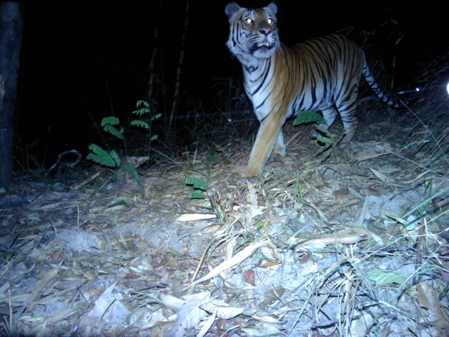 Globally there are around 3,900 tigers thought to live in the wild, including Bengal and Siberian tigers,...