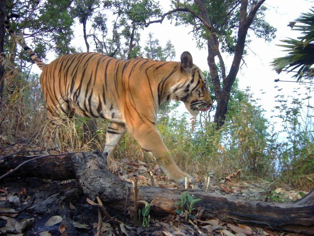 Panthera captured these images of tigers in western Thailand, the first seen in the region in