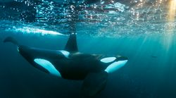 Orca Who Grieved By Carrying Her Dead Calf For 17 Days Is Pregnant